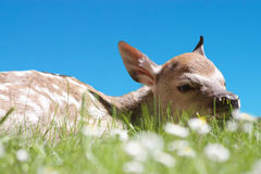 Fawn laying in a daisy field close up Stock Photo