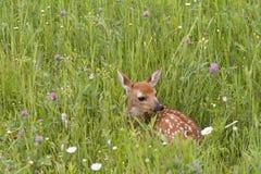 Fawn Laying Down i blommor Royaltyfri Foto