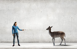 Fawn on lead Stock Images