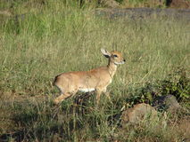 Fawn. A little  fawn or antelope watching out for any danger Royalty Free Stock Images
