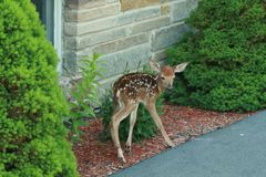 Fawn looking for Mom. Hours old fawn,on wobbly legs,looking for it's mother Royalty Free Stock Photography