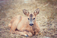 Fawn lying on the grass Stock Photography