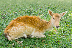 Fawn is lying. Royalty Free Stock Image
