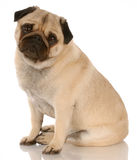 Fawn male pug. Fawn pug dog sitting with reflection on white background Royalty Free Stock Image