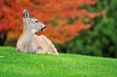 Fawn and maple tree background Royalty Free Stock Image