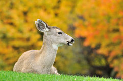 Fawn and maple tree background Stock Photo