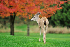 Fawn with maple trees in the background. Baby deer with maple trees in the background stock photography