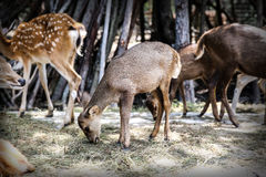Fawn and masses [ select focus ] at Khonkaen zoo., Thailand Royalty Free Stock Images