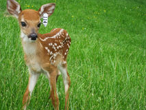 Fawn in Meadow Royalty Free Stock Photo