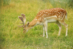The fawn at the meadow Stock Images