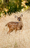 Fawn in a meadow in late summer. Royalty Free Stock Photos