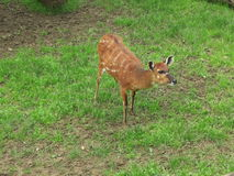 Fawn in the meadow. Sitatunga fawn in a zoo enclosure Stock Images