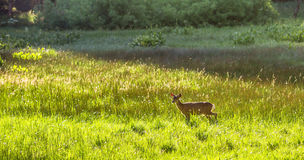 Fawn on the meadow. Royalty Free Stock Photography