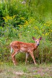 Fawn in a meadow with wildflowers royalty free stock photography