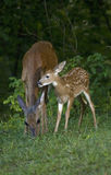 Fawn and mom Stock Photos