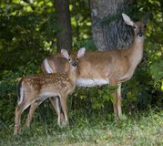 Fawn and mom Royalty Free Stock Images