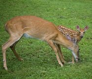 Fawn and mom Stock Photo