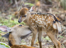 Fawn and mom deer, focus on baby eye Stock Images