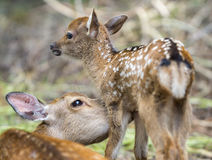 Fawn and mom deer licking, focus on baby eye Royalty Free Stock Image