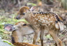 Fawn and mom deer licking, focus on baby eye Stock Images
