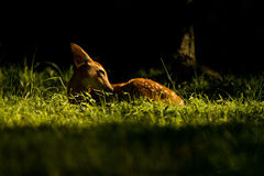 Fawn Morning Image stock