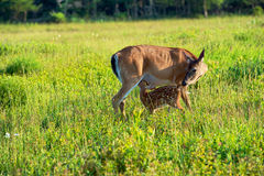 Fawn and Mother Royalty Free Stock Photos