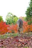 Fawn in Nara, Japan Royalty Free Stock Images