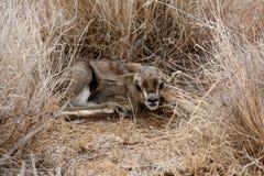 Fawn nascondentesi della gazzella del ` s di Grant fotografia stock libera da diritti