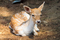 Fawn in the National Park of Thassos Royalty Free Stock Image