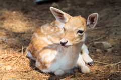 Fawn in the National Park of Thassos Royalty Free Stock Photo