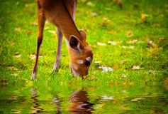 Fawn in the nature Royalty Free Stock Photography