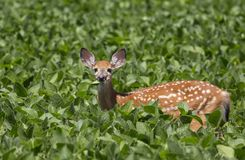 Fawn near Pymatuning State Park in Linesville Pennsylvania stock photography