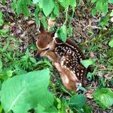 Fawn neonato che si nasconde nella boscaglia immagine stock libera da diritti