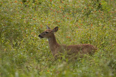 Fawn in Orange Flowers. A baby deer standing in a field of orange flowers royalty free stock photos