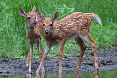 Fawn Pair Images stock