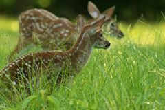 Fawn Pair Royalty Free Stock Photo