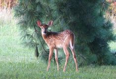 Fawn by Pine Tree Royalty Free Stock Image