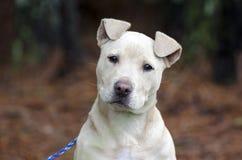 Fawn pitbull puppy dog head tilt, pet rescue adoption photography royalty free stock photos