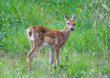 Fawn portrait Royalty Free Stock Image