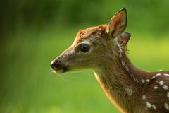 Fawn Portrait Verde royalty free stock image
