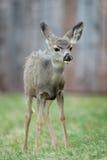 fawn pronghorn Στοκ Εικόνες
