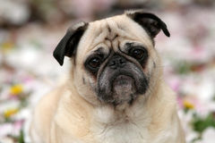 Fawn Pug Royalty Free Stock Image