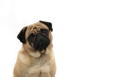 Fawn Pug. Pretty Female Pug isolated on white background.  Lots of copyspace for your text Stock Photography