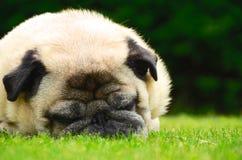 Fawn Pug de sommeil Photographie stock libre de droits