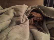 Fawn pug dog cuddling in a blanket!. Cute pug cuddling in a blanket Royalty Free Stock Image