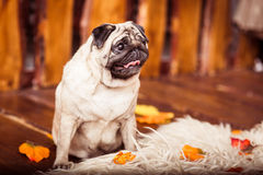 Fawn pug dog sits on the furs at the wooden boards background an. D looking up Royalty Free Stock Photos