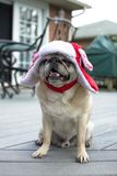 Fawn pug in his snow hat Royalty Free Stock Image