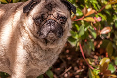 Fawn Pug Outdoors Royaltyfria Bilder