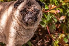 Fawn Pug Outdoors royalty-vrije stock afbeeldingen