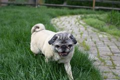 Fawn pug on the prowl for treats. In the backyard Royalty Free Stock Photography
